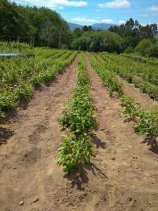 campos madre de clones hibridos